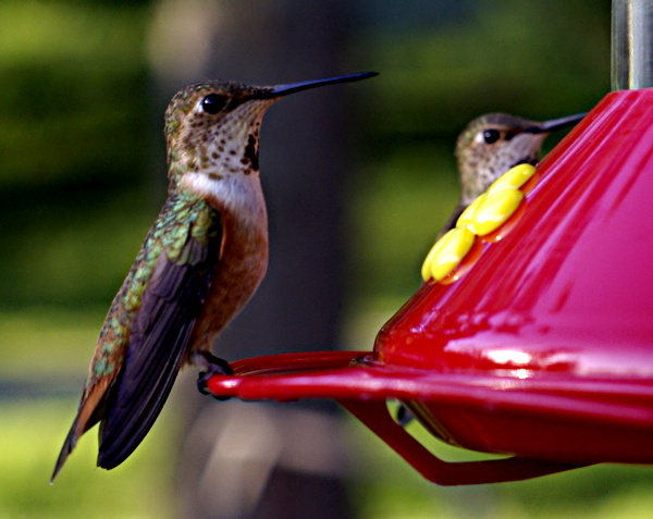 two female Rufous Hummingbirds